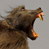 Чакма alias медвежий павиан