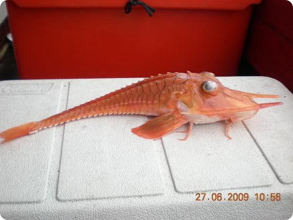 Малармат, или панцирный тригл (лат. Peristedion barbiger)