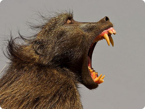 Чакма или медвежий павиан (лат. Papio ursinus)