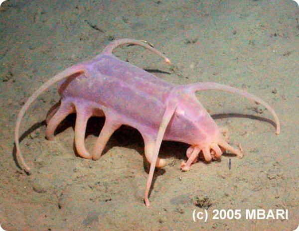 Морские свиньи (лат. Scotoplanes Globosa)