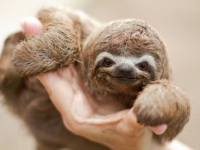 Трехпалые ленивцы