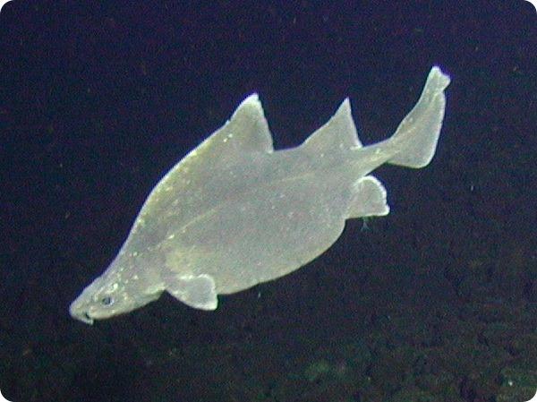 Австралийская центрина (лат. Oxynotus bruniensis)