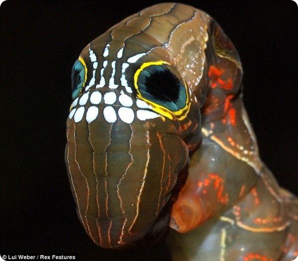 Гусеница-череп (лат. Phyllodes imperialis)