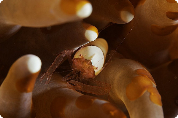 Палемона Hamopontonia corallicola
