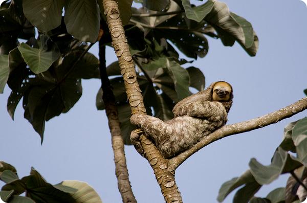 Трехпалые ленивцы (лат. Bradypus tridactylus)
