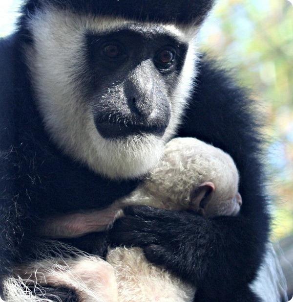 Новорожденный детёныш колобуса из детского зоопарка Индианы