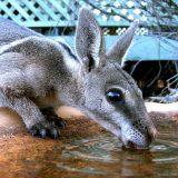 Короткокоготный кенгуру