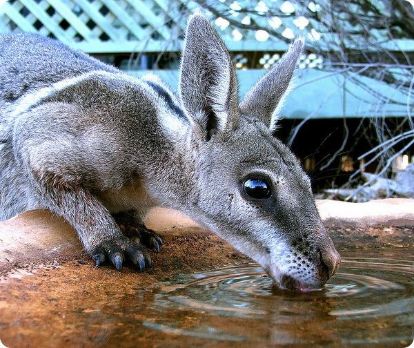 Короткокоготный кенгуру (лат. Onychogalea fraenata)