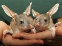 Кроличьи бандикуты из Перта