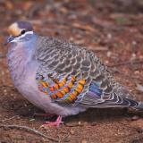 Бронзовокрылый голубь-фапс
