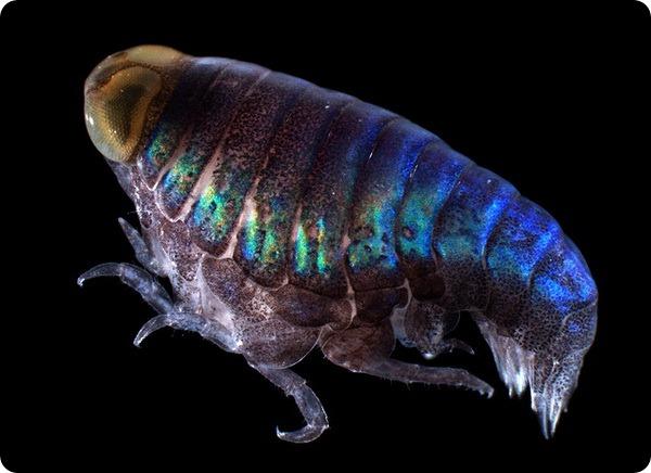 Бокоплав-гипериида (лат. Euthamneus cf rostratus)