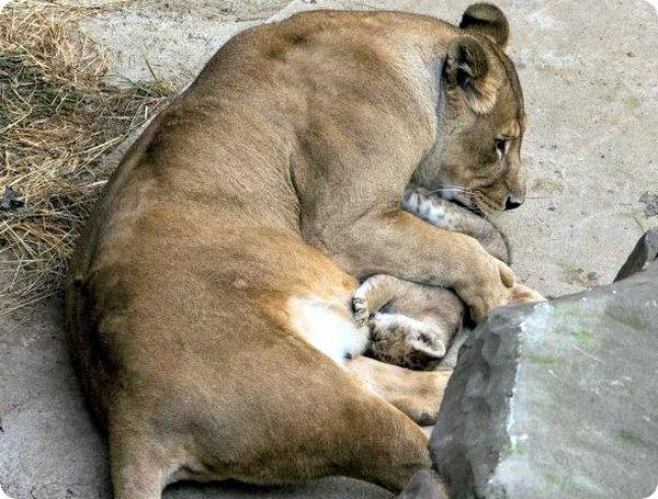 Маленький львёнок из зоопарка Антверпена