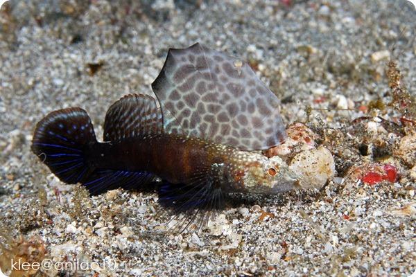 Креветочный бычок Flabellogobius sp. и креветка-щелкун