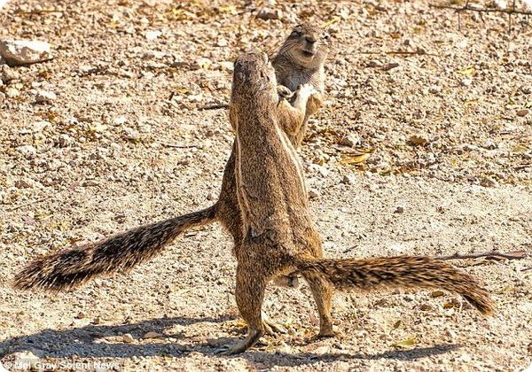 Забавные танцы бурундуков в Намибии