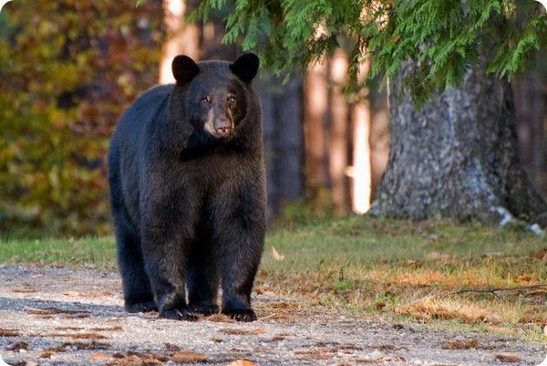 Барибал или черный медведь (лат. Ursus americanus)