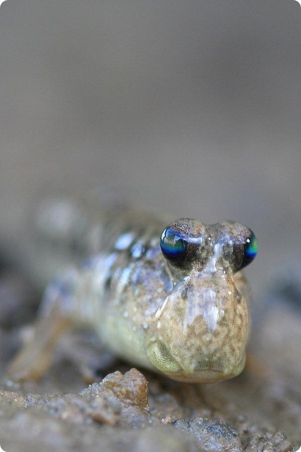 Илистые прыгуны (лат. Periophthalmus)