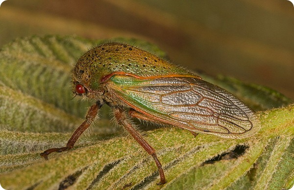 Горбатка Metcalfiella vicina и ее нимфы