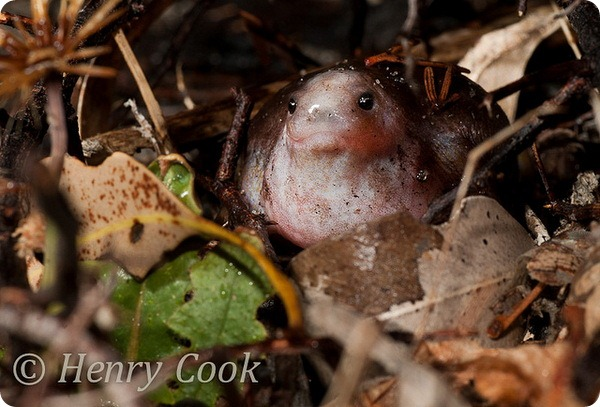 Лягушка-черепаха (лат. Myobatrachus gouldii)