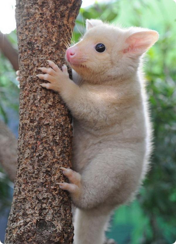 Лисий кузу из Сиднея - ZooPicture.