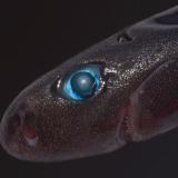 Карликовая светящаяся акула