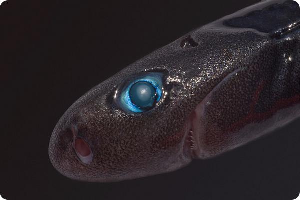 Карликовая светящаяся акула (лат. Euprotomicrus bispinatus)