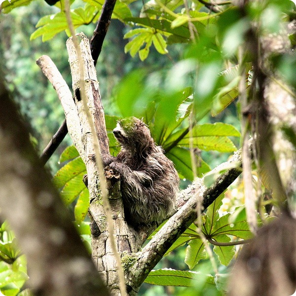 Бурогорлые ленивцы (лат. Bradypus variegatus)