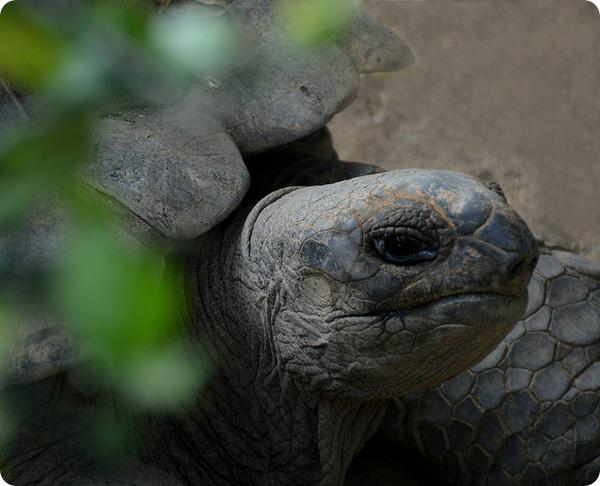 Сейшельская гигантская черепаха (лат. Aldabrachelys hololissa)