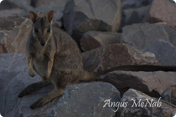 Квинслендский скальный или каменный валлаби (лат. Petrogale assimilis)