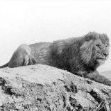 Барбарийский лев