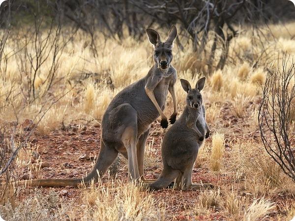Большой рыжий кенгуру (лат. Macropus rufus)