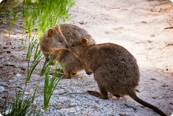 Квокка или короткохвостый кенгуру (лат. Setonix brachyurus)