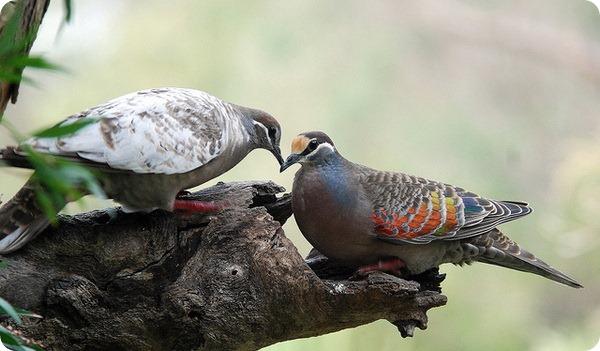 Бронзовокрылые голуби-фапсы (лат. Phaps chalcoptera)
