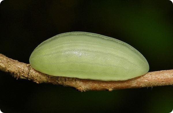 Желатиновая слизневидка - семейство Limacodidae