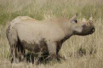 Черный камерунский носорог