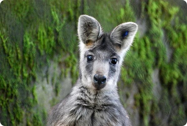 Горный кенгуру (лат. Macropus robustus)