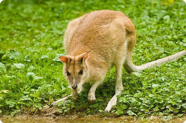 Прыткий валлаби (лат. Macropus agilis)