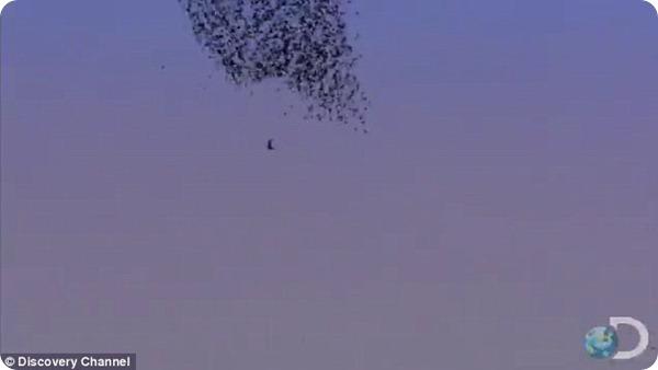 Охота сокола на скворцов в небе над Римом