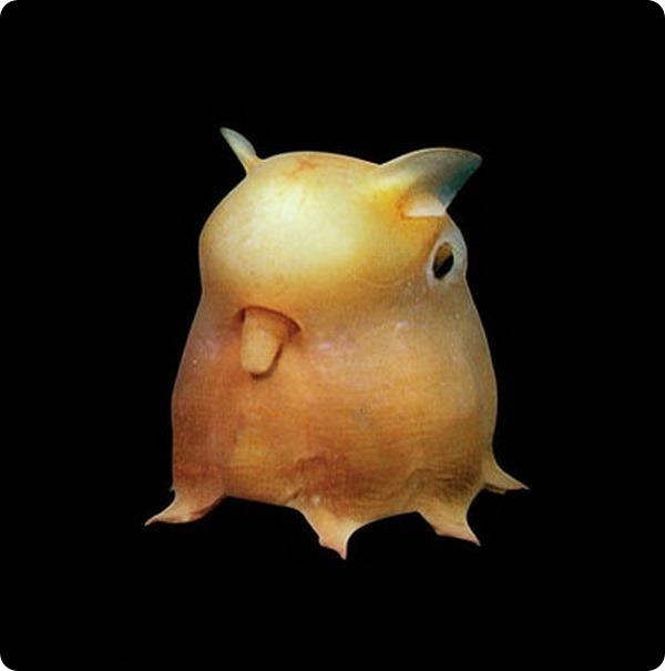 Осьминог Думбо или Гримпотевтис (лат. Grimpoteuthis)