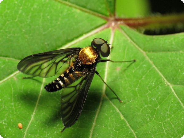 Бекасница Chrysopilus thoracicus