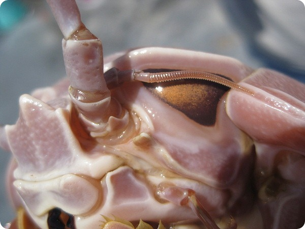 Гигантские изоподы (лат. Bathynomus giganteus)