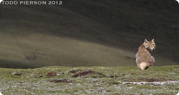 Тибетская лисица (лат. Vulpes ferrilata)