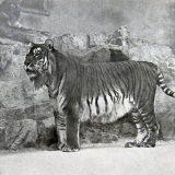 Каспийский тигр