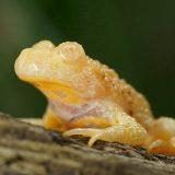 Желтобрюхая жерлянка — альбинос
