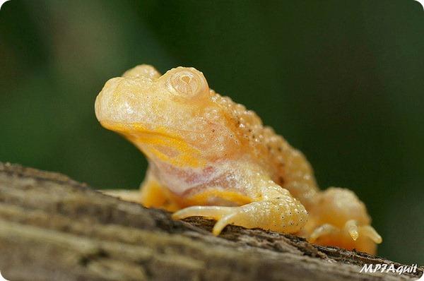 Желтобрюхая жерлянка - альбинос