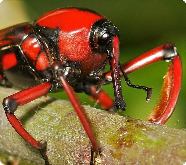 Трубконосик Cyrtotrachelus longimanus