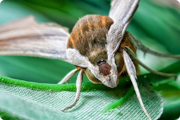 Гусеница бабочки-бражника Xylophanes tersa