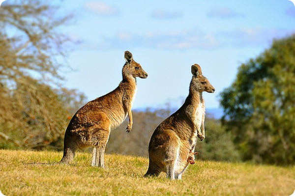 Большой рыжий кенгуру (лат. Macropus rufus) ecc6e2ab56724