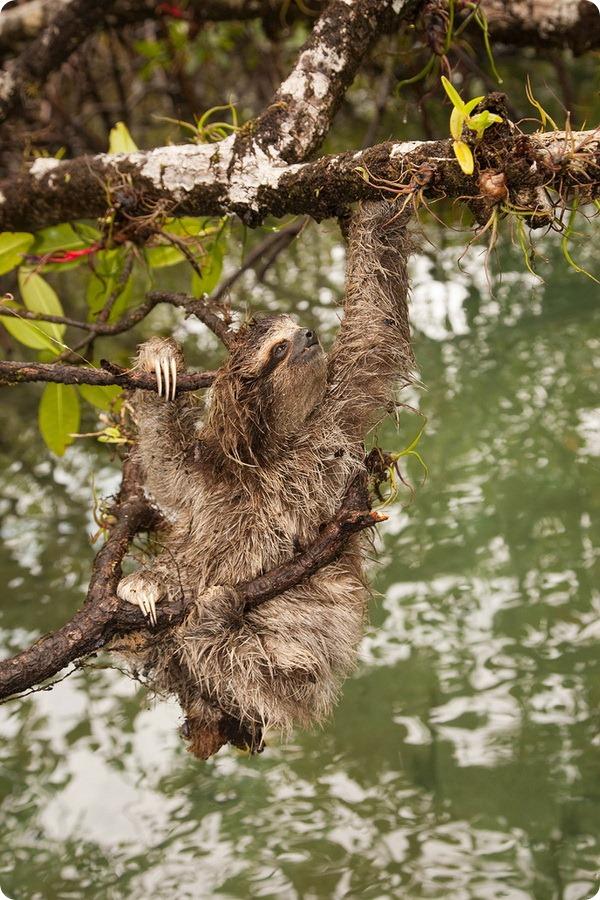 Карликовый ленивец (лат. Bradypus pygmaeus)