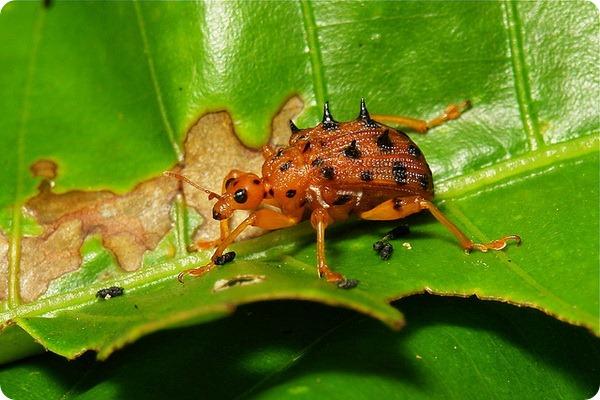 Трубковерт Paroplapoderus sp.