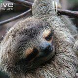 Карликовый ленивец